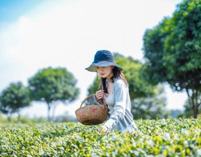辞春迎夏采茶去,跟奇骏翻越茶山品香茗